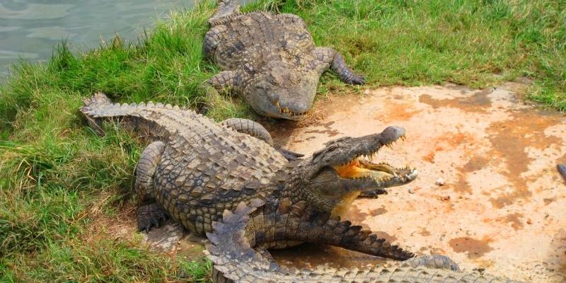 Croc farm ivato 1