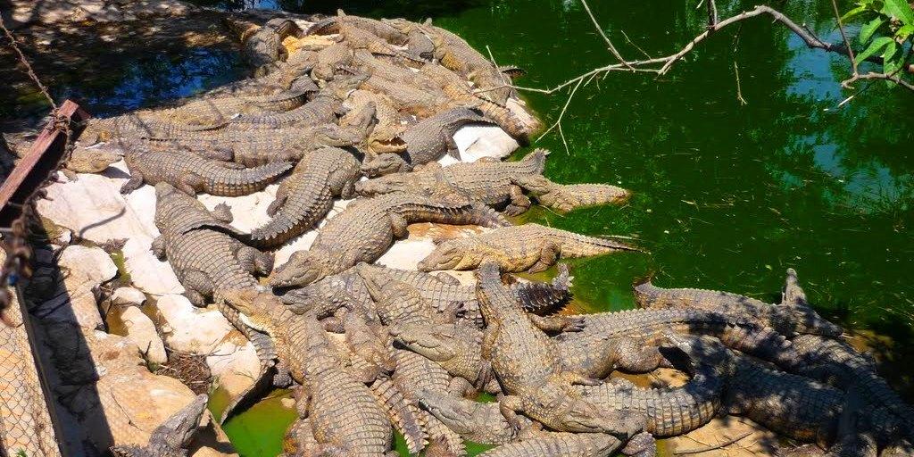 Croc farm ivato 3